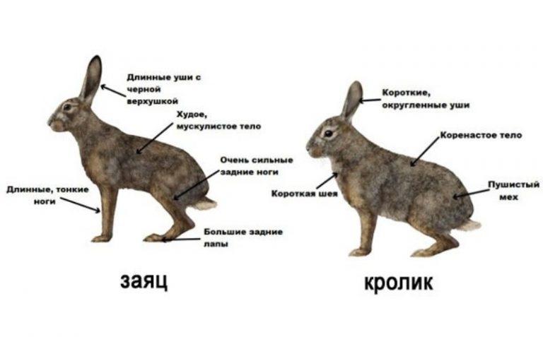 Оказывается, кролики зайцам не родня!