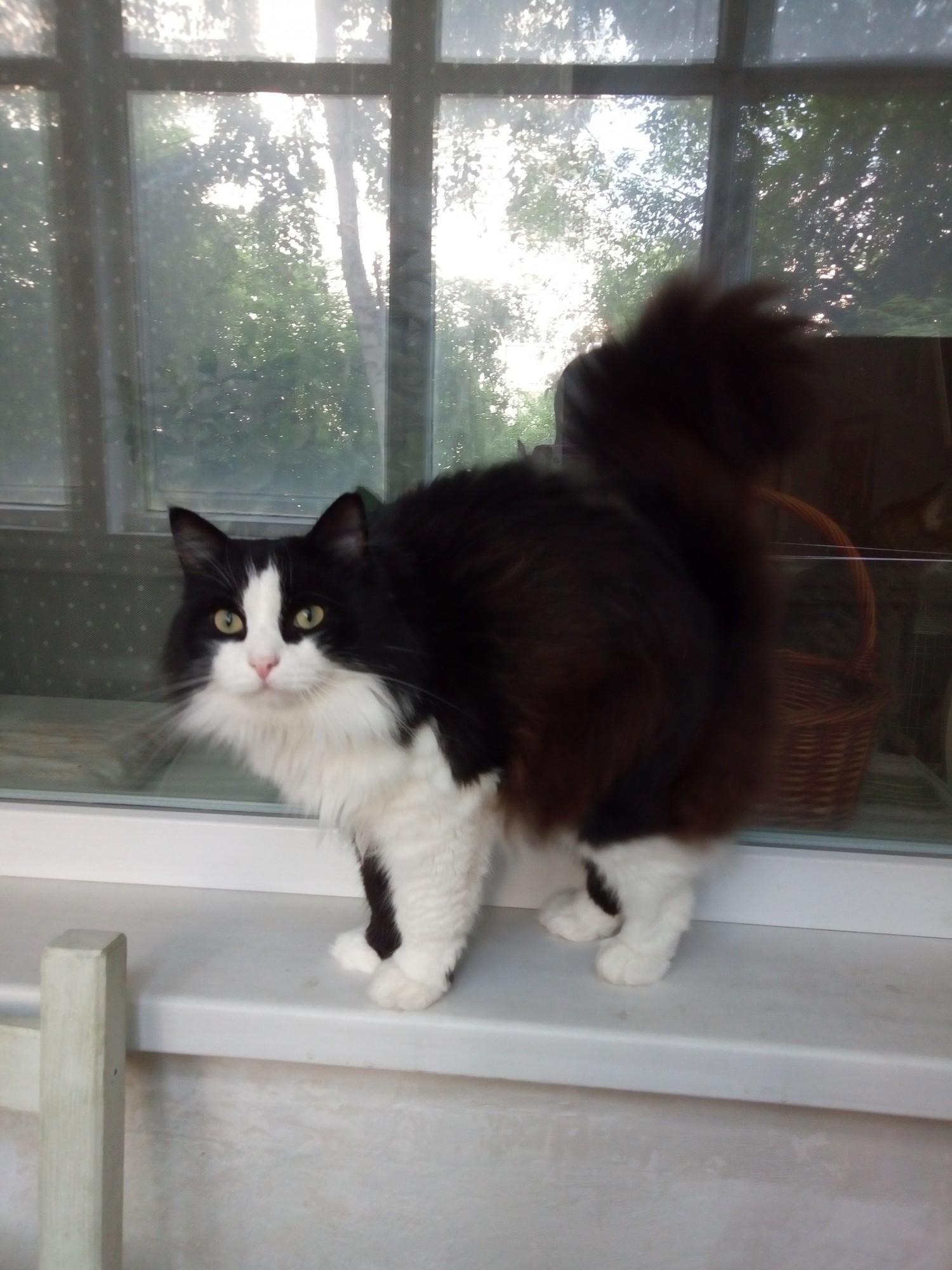 Красавец Василий – большой ласковый кот для нежности и компании
