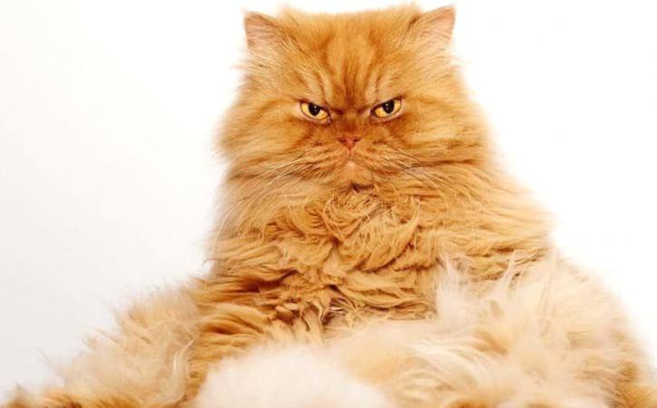 Приплюснутый нос и море обаяния: 5 интересных фактов о персидских кошках