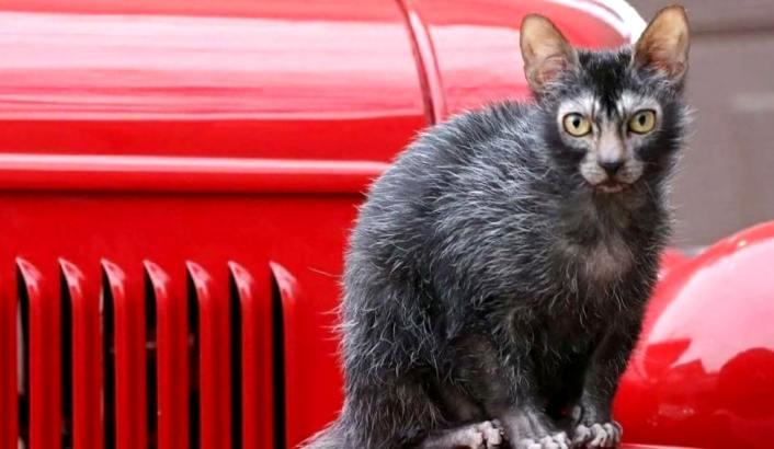 Ликой: домашний кот в волчьей шкуре
