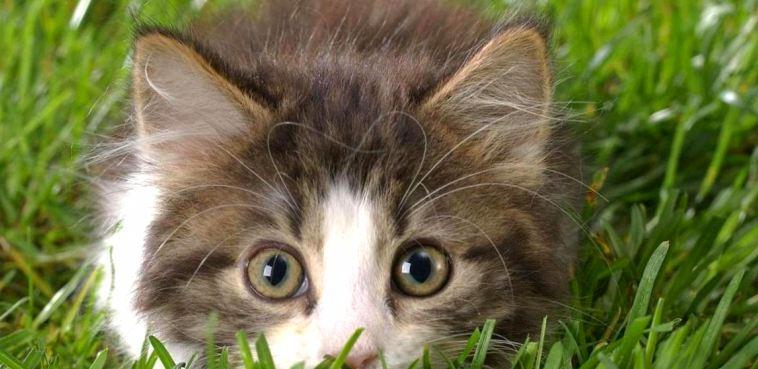 Блохи у котов: что эффективнее капли или ошейник