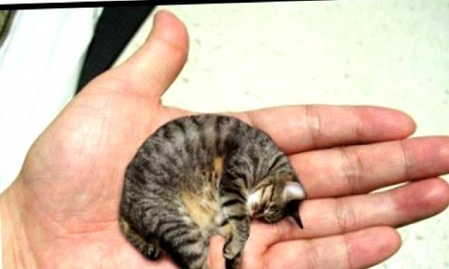 Кроха на ладони и гигант размером с собаку: самые-самые кошки-рекордсмены