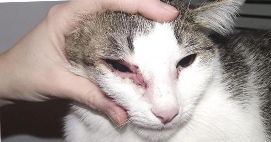 Аллергия у кошки: причины, симптомы, лечение