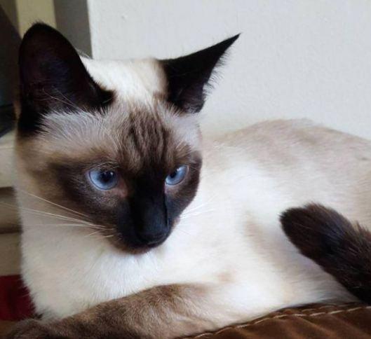 Чистокровные доходяги: самые болезненные породы кошек