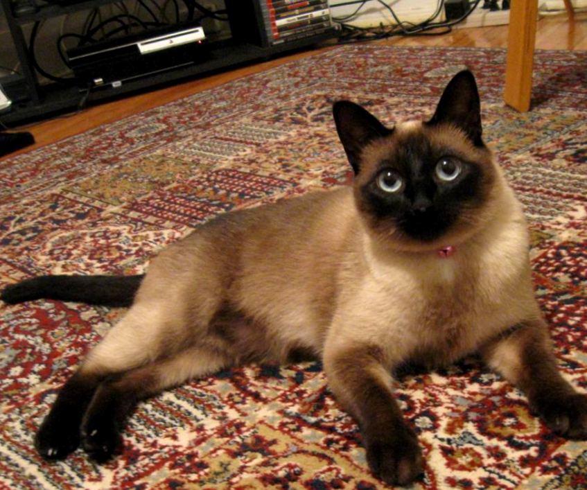 Пройти тысячи километров и найти дорогу домой: еще одна невероятная кошачья супер-способность