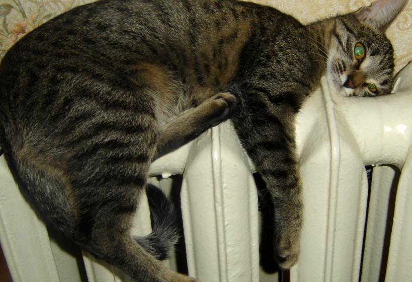 Кому погорячее: почему кошки так зависят от тепла
