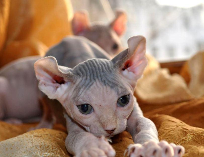 Эльфы среди нас или новая звезда кошачьего мира