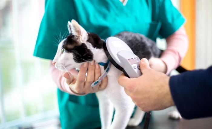 Чипирование кошки: насколько эта процедура необходима