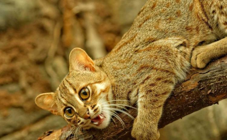 Экзотическая красота: 10 самых редких диких кошек