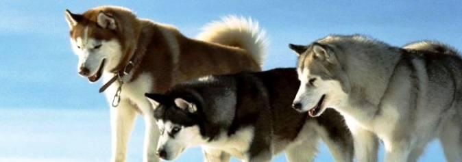 Если бы кошки могли лаять или воспитанные среди собак