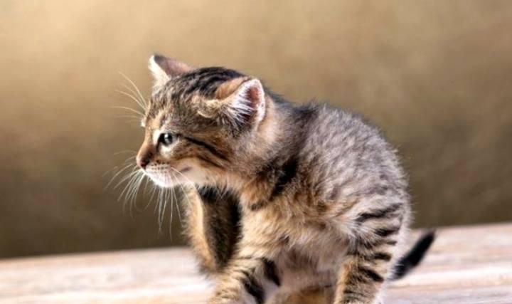 Чем опасны блохи или аллергический кошачий дерматит