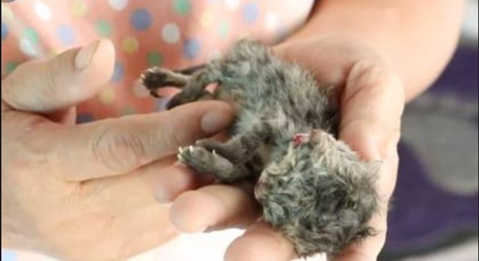 Очередная сенсация: в Таиланде родился двуглавый котенок