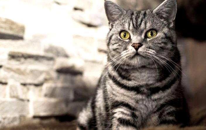 Картинки по запросу Кошка Табби