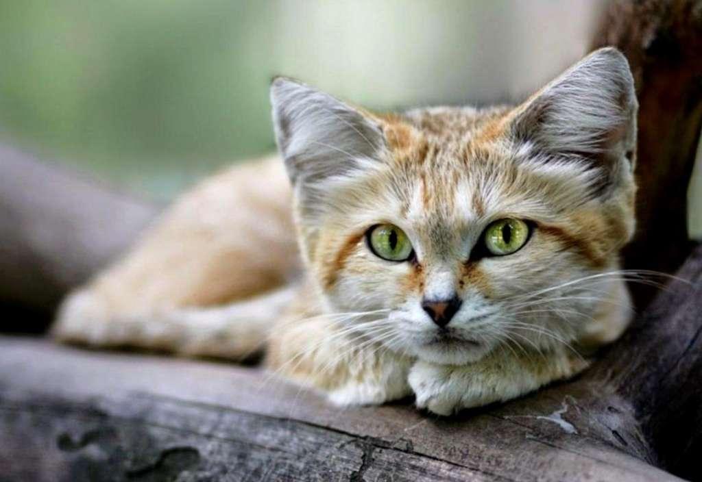 Картинки по запросу Песчаная кошка