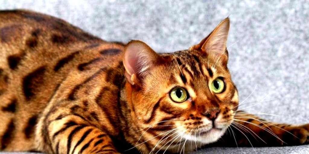 Картинки по запросу Тойгер кошка