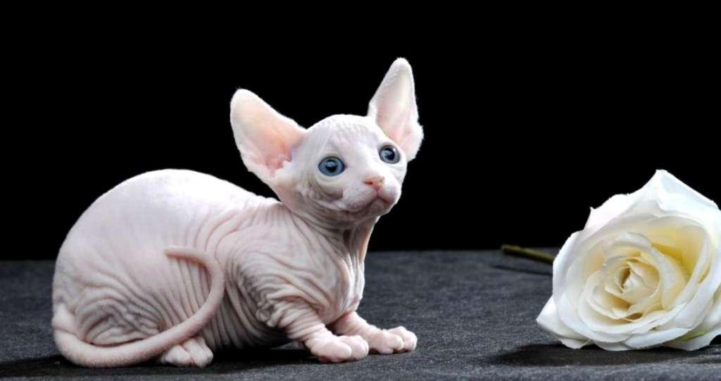 Картинки по запросу лычый бамбино кот
