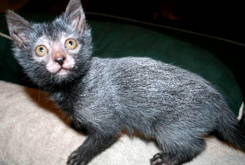 Кошка – оборотень: редкая и необычная порода Ликой