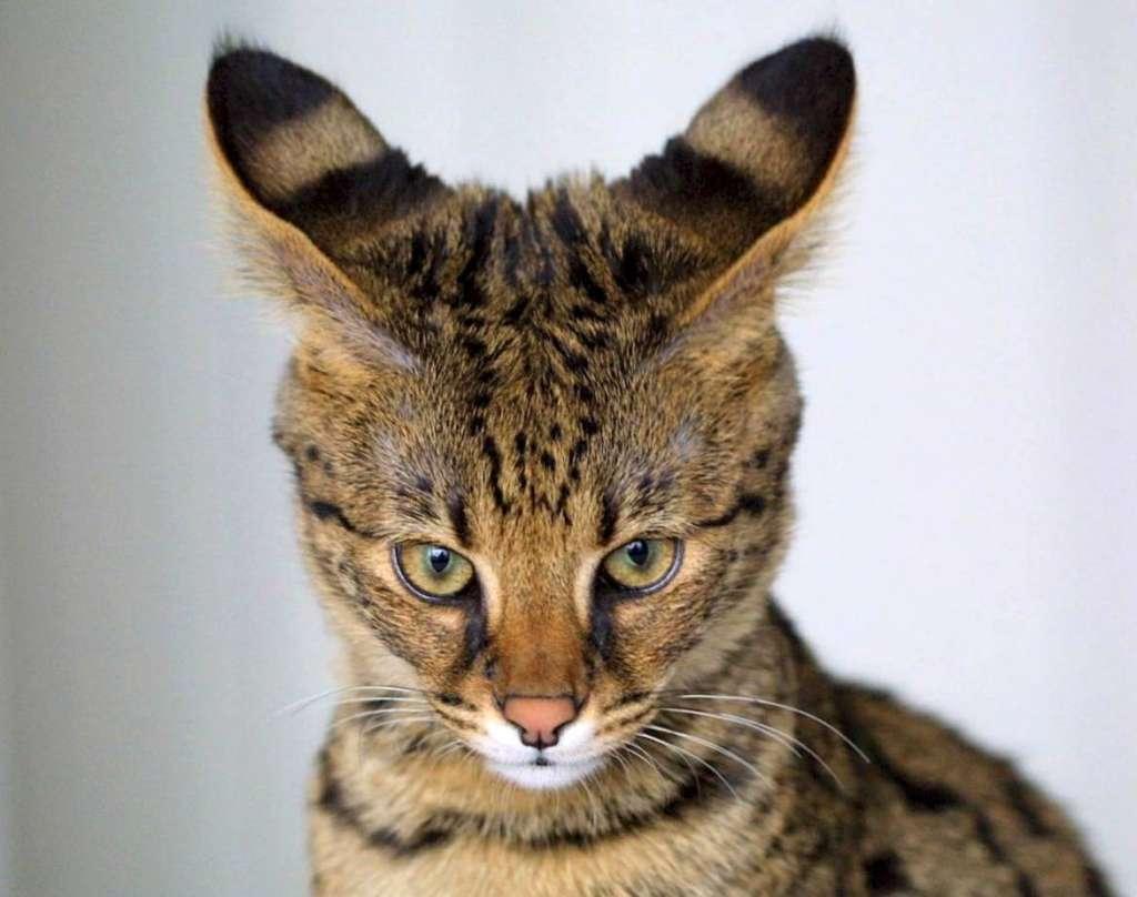 Картинки по запросу Саванна кошка
