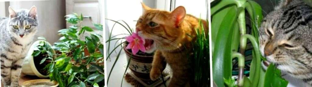 Бедные фикусы или почему кошки обожают грызть комнатные растения