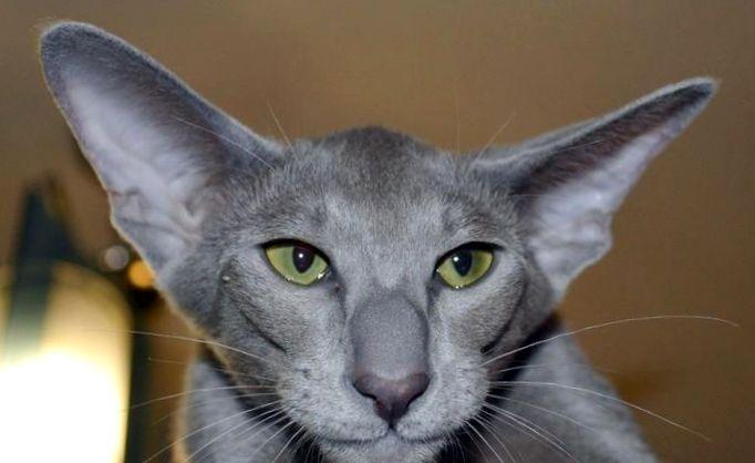 "Znalezione obrazy dla zapytania: Ориентальная кошка"""