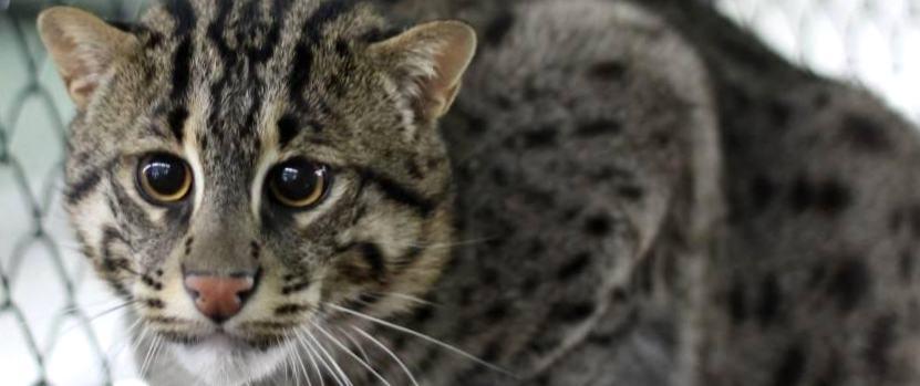 Znalezione obrazy dla zapytania: Виверровый кот рыболов