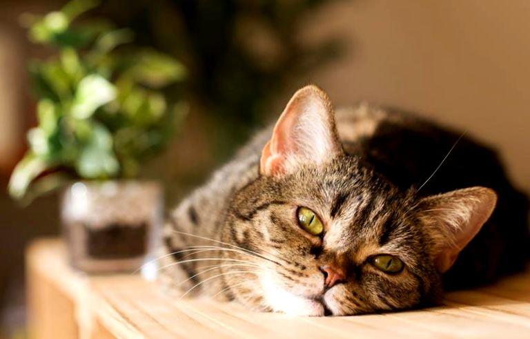 """Картинки по запросу """"Кошка лазит по столу: что с этим делать и как отучить от вредной привычки?"""""""""""