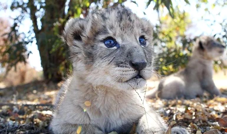 Первые малыши – львята из пробирки