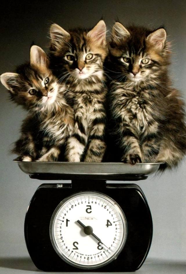 Znalezione obrazy dla zapytania: кот-весы