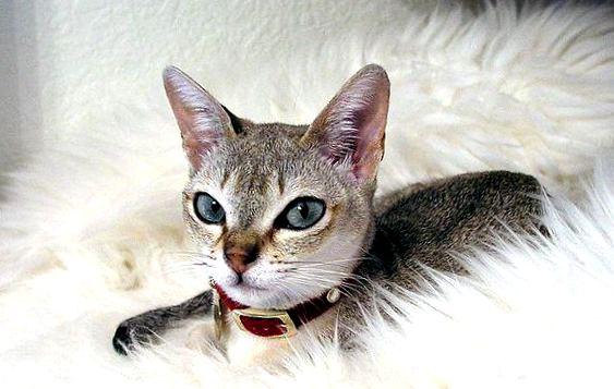 """Картинки по запросу """"Сингапурская кошка"""""""""""