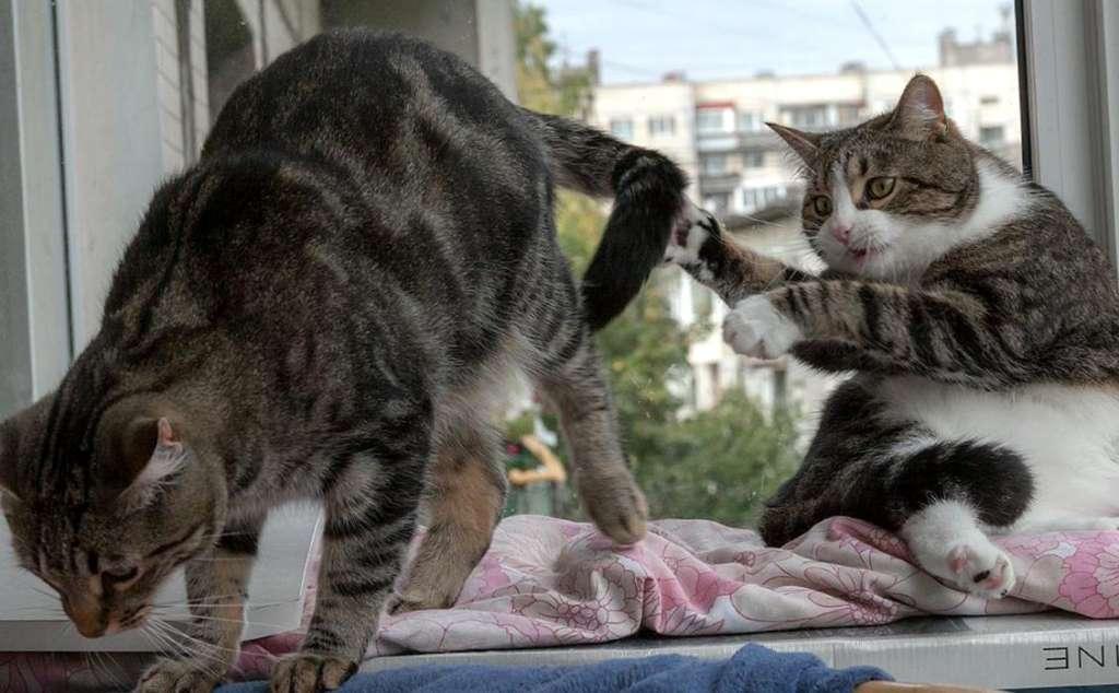 Две кошки в доме: «за» и «против»