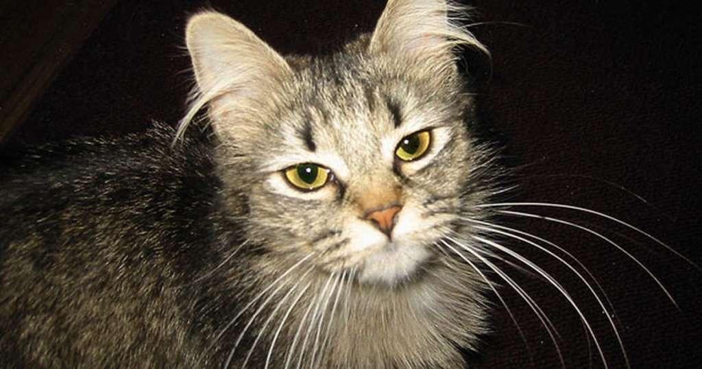 Самые длинные кошачьи усы: пушистые мировые рекордсмены