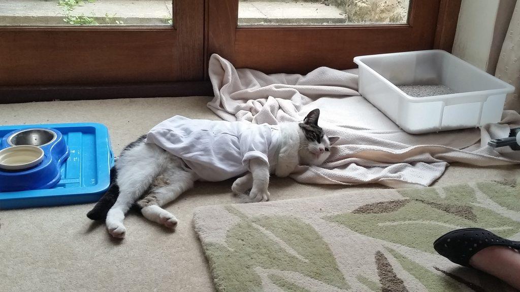 Стерилизация: как ухаживать за кошкой после операции?