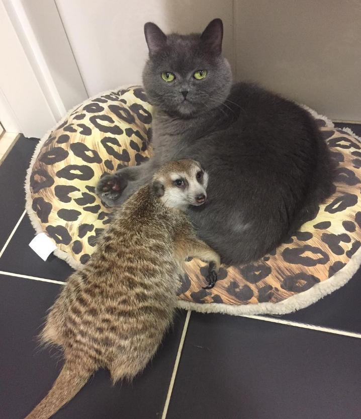 Трогательная дружба кота Найза и суриката Сури: милейшая парочка из Санкт-Петербурга покоряет интернет