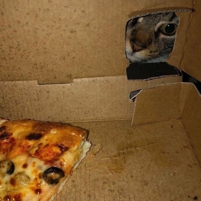 Картина маслом: котэ и пицца. Прикольная фотоподборка питомцев, обожающих вкусно поесть