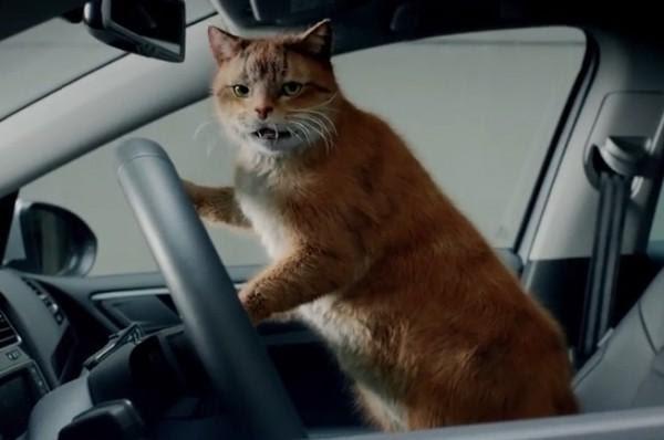 Берегись автомобиля: фотоподборка милых, но очень серьезных котэ – мужчин за рулем