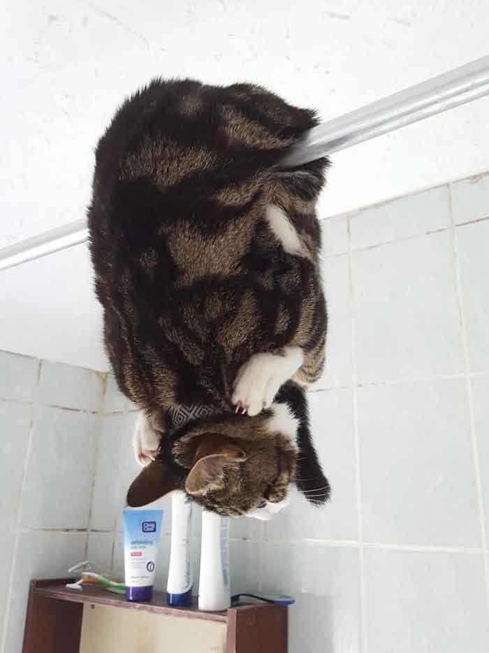 Жить захочешь — не так раскорячишься: забавная фотоподборка с кошками