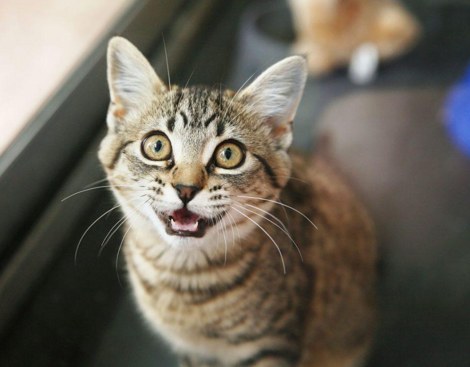 Кошки, которые не мяукают: в чем же дело?