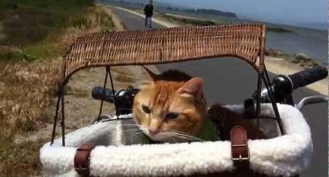 Кошка-велосипедист и велокурьеры | Сайт Котовского