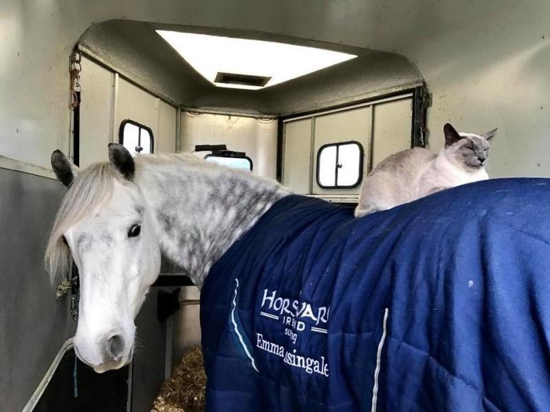 Кот вырос в конюшне и выезжает на прогулки, сидя на лошади | Пикабу