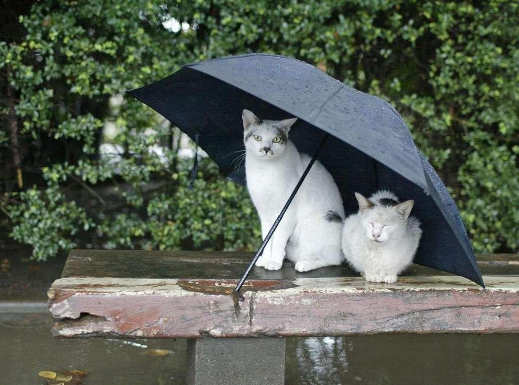 кошки дождь зонт HD обои для ноутбука