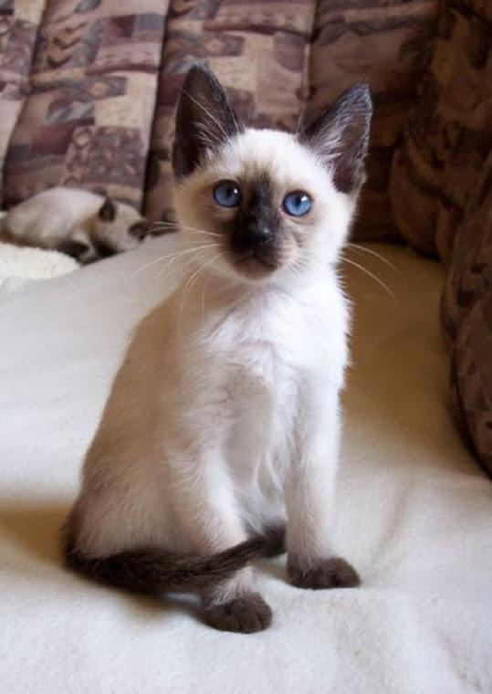 malutki kotek syjamski *.* misiaczek ! :) na Fotografie - Zszywka.pl