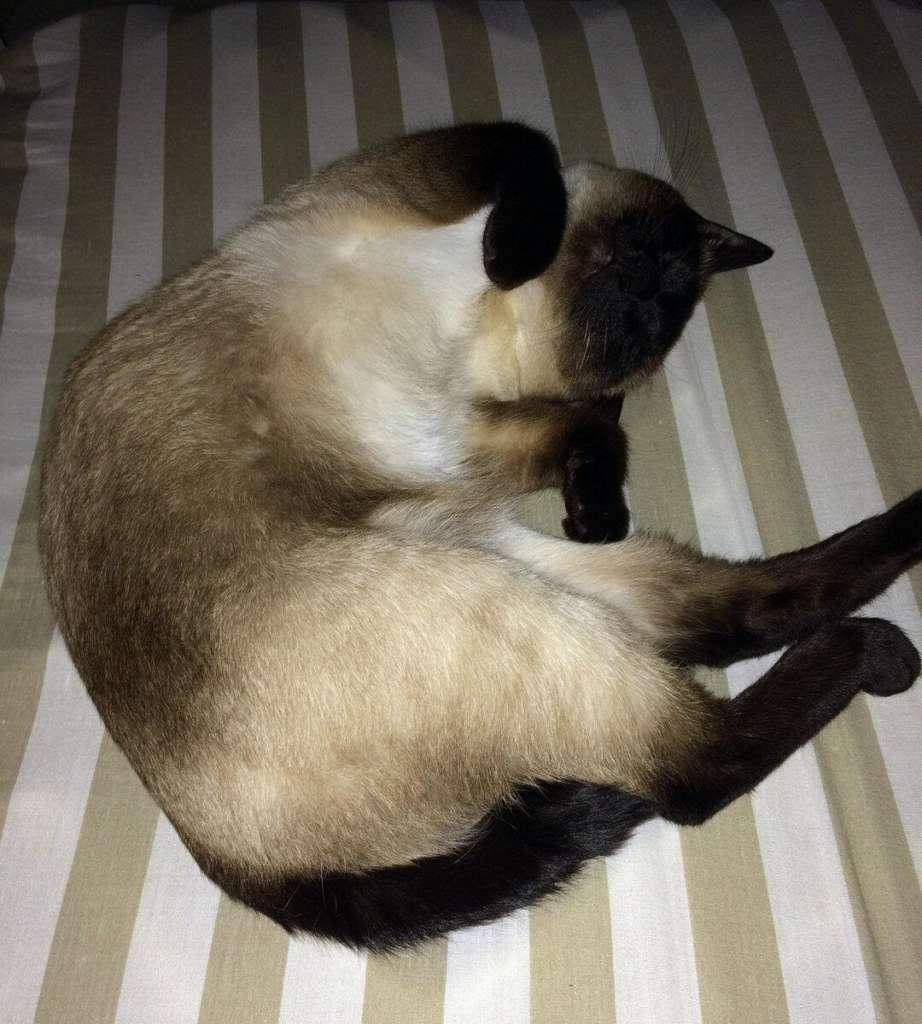 Удивительный окрас сиамских кошек - как у природы это получается ...