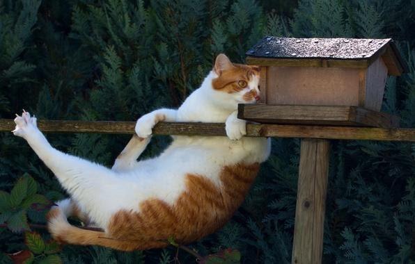 Обои кот, ситуация, скворечник, акробат картинки на рабочий стол ...