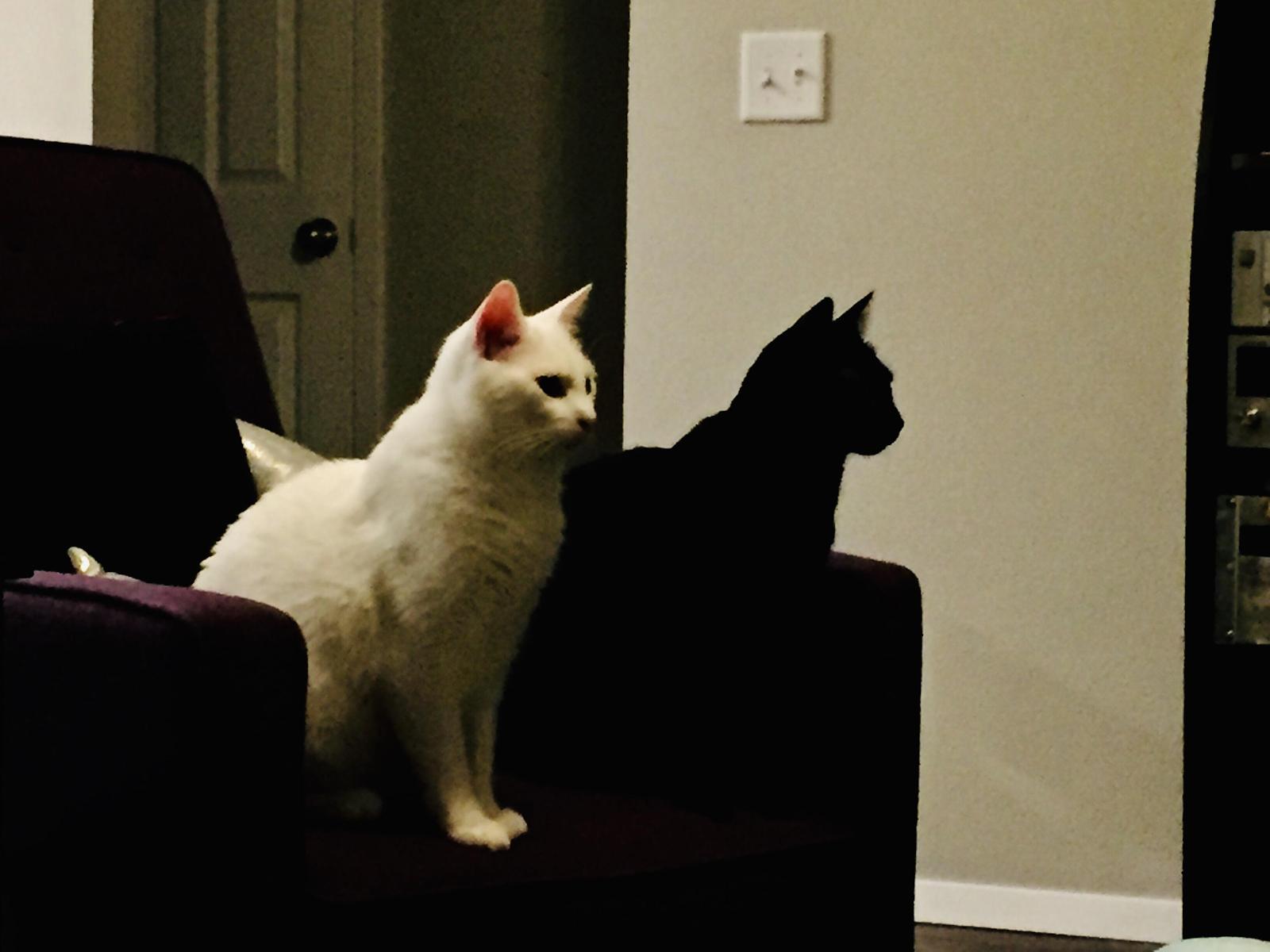Обои пушистик, красота, кот. Кошки foto 2