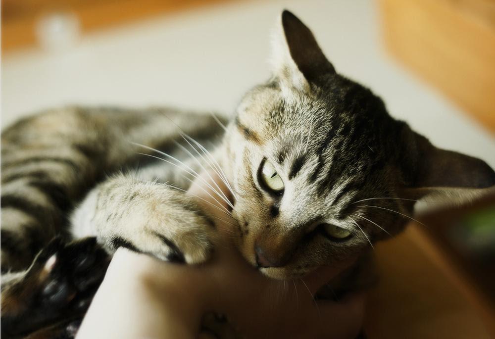 Домашний «кусака» или как достать хозяина до ручки: фотоподборка котиков, выпускающих коготки и зубки