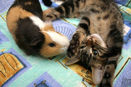 Коты и свинки. На этот раз морские. Кото-фото