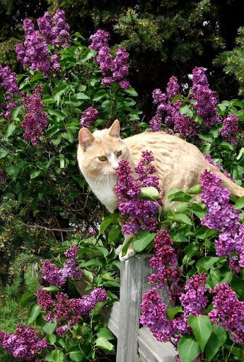 Коты и цветы. Часть первая. Сирень. Кото-фото