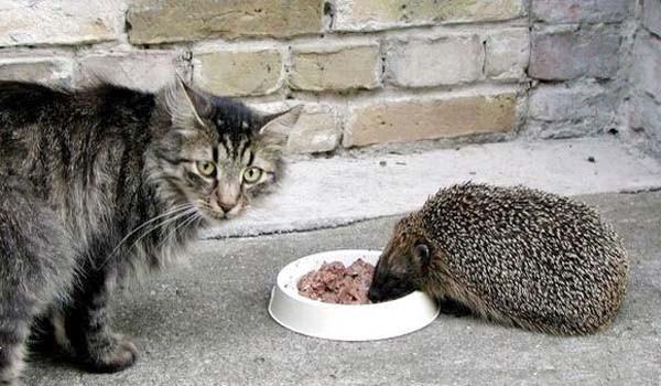 Ежкин кот или взаимоотношения котов с ежами. Часть первая. Кото-фото