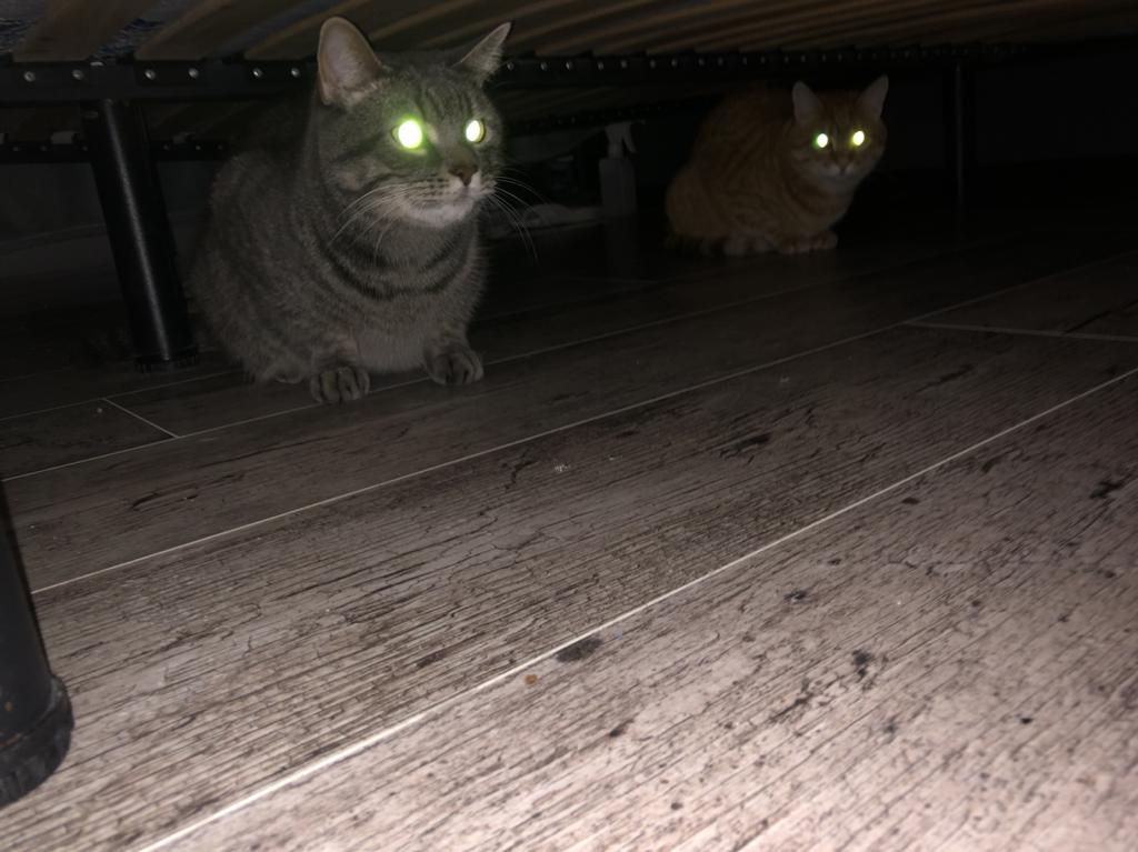 Магическое сияние кошачьих глаз или что такое тапетум. Статья с фотографиями