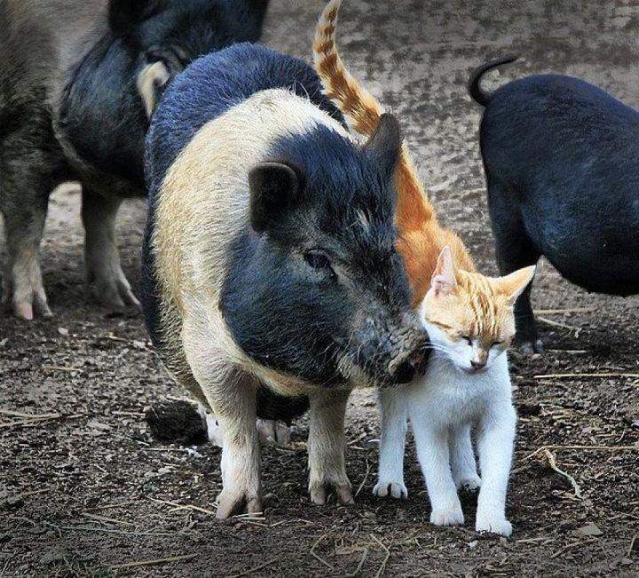Коты и свиньи — друзья-товарищи. Кото-фото